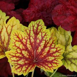 Żurawka 'Red Lightning' Heuchera