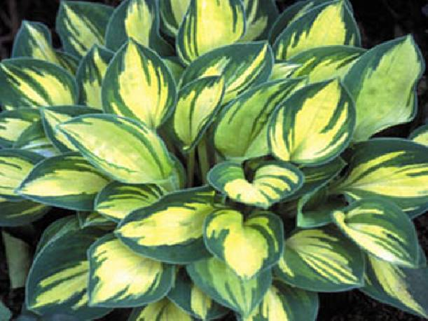 Funkia 'Cherish' Hosta