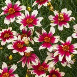 Nachyłek okółkowy 'Sunstar Rose' Coreopsis verticilata