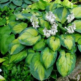 Funkia 'Georgia Smith' Hosta