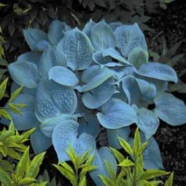Funkia 'Fragrant Blue' Hosta