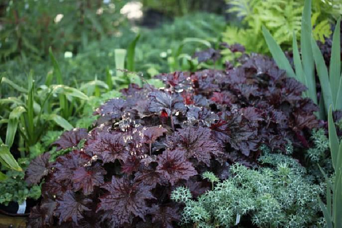 Żurawka drobna 'Palace Purple' Heuchera micrantha