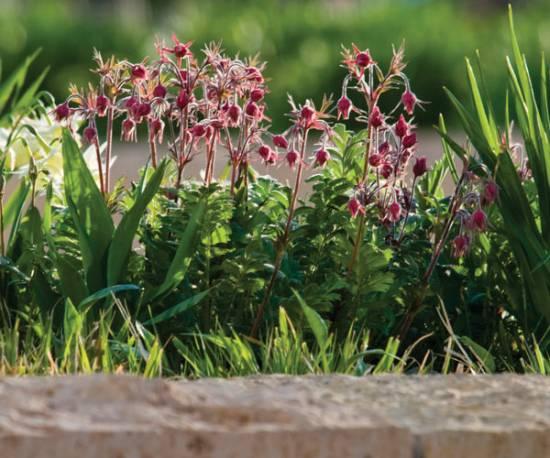 Kuklik trójkwiatowy Geum triflorum