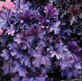 Żurawka 'Rex Purple' Heuchera