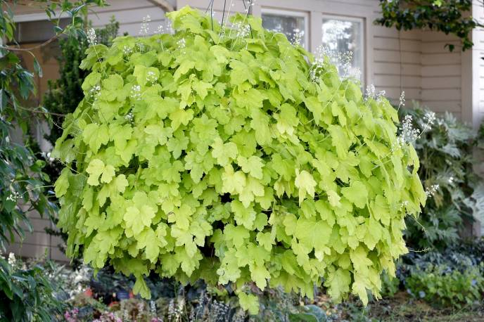 Żuraweczka 'Happy Hour Lime' Heucherella
