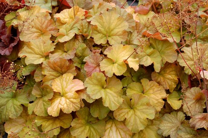 Żurawka Nothern Exposure 'Amber' Heuchera