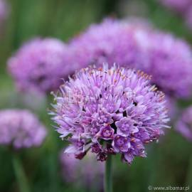 Czosnek sinawy 'Purple' Allium senescens