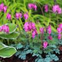 Serduszka 'King of Hearts' Dicentra