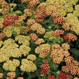Krwawnik 'Strawberry Seduction' Achillea
