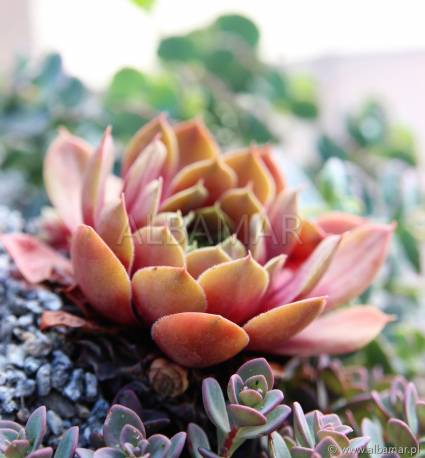 Rojnik 'Palisander' Sempervivum hybridum