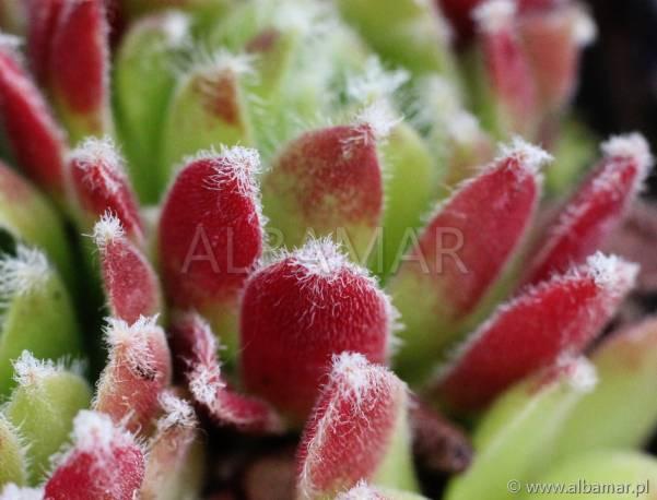 Rojnik 'Peppin' Sempervivum hybridum