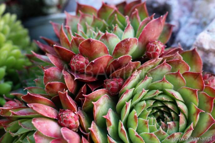 Rojnik 'Rosie' Sempervivum hybridum