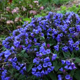 Miodunka wąskolistna 'Blue Ensign' Pulmonaria angustifolia