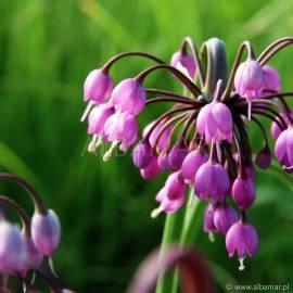 Czosnek zwisły 'Hidcote' Allium cernuum