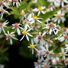 Aster rozkrzewiony Aster divaricatus