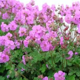 Bodziszek kantabryjski 'Karmina' Geranium cantabrigense