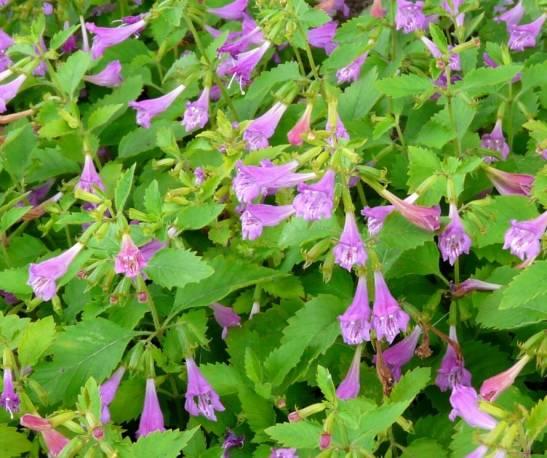 Czyścica wielkokwiatowa 'Variegata' Calamintha grandiflora