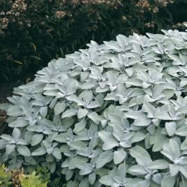 Szałwia lekarska 'Berggarten' Salvia officinalis