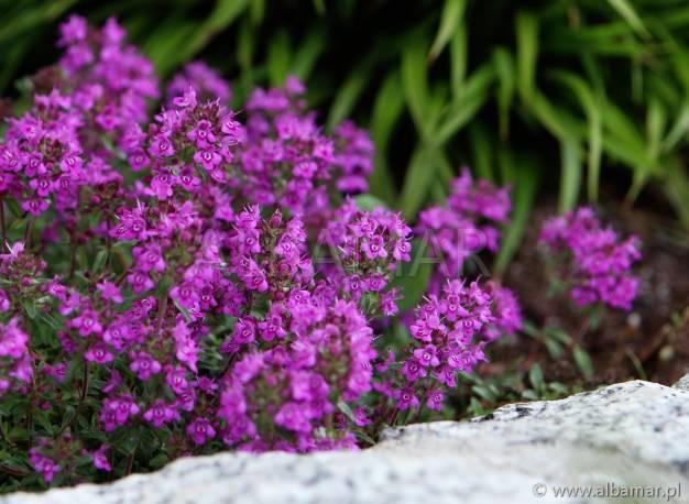 Macierzanka wczesna 'Purple Beauty' Thymus praceox
