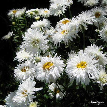 Złocień wielki 'Aglaia' Leucanthemum x superbum