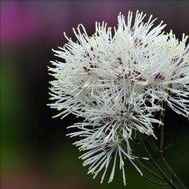 Rutewka orlikolistna NIMBUS 'White' Thalictrum aquilegifolium