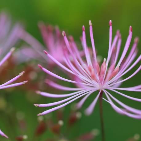 Rutewka Nimbus 'Pink' Thalictrum
