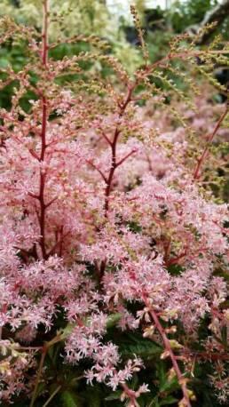 Tawułka pojedynczolistna 'Sprite' Astilbe simplicifolia