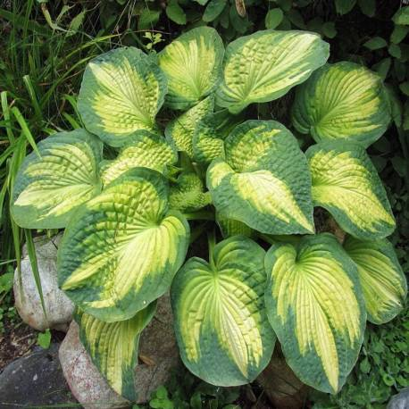 Funkia 'Brother Stefan' Hosta