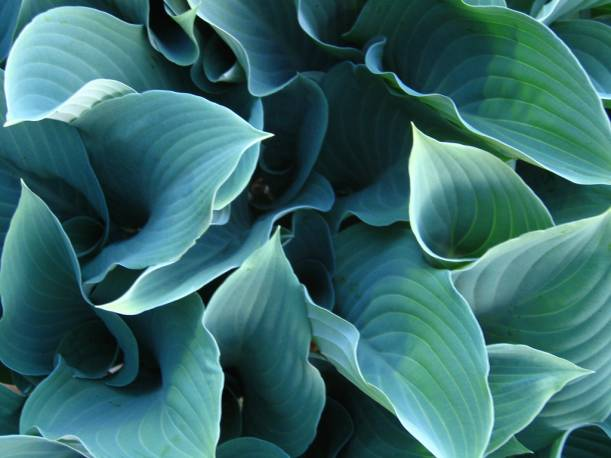 Funkia 'Krossa Regal' Hosta