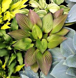 Funkia 'First Blush' Hosta