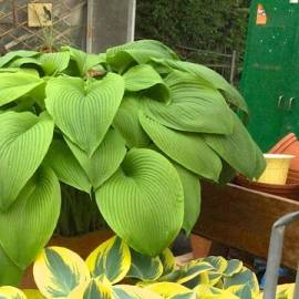 Funkia 'Green Acres' Hosta