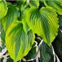 Funkia 'One Last Dance' Hosta