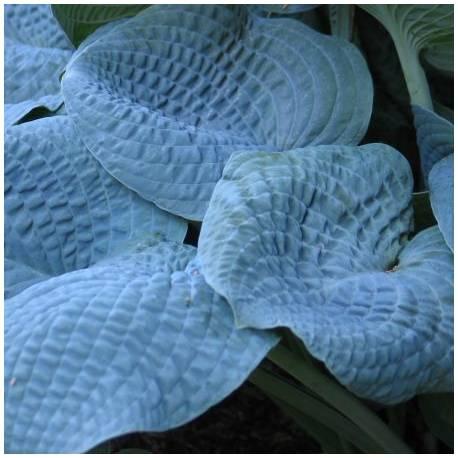 Funkia 'Sapphire Pillows' Hosta