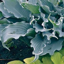 Funkia 'Waterslide' Hosta
