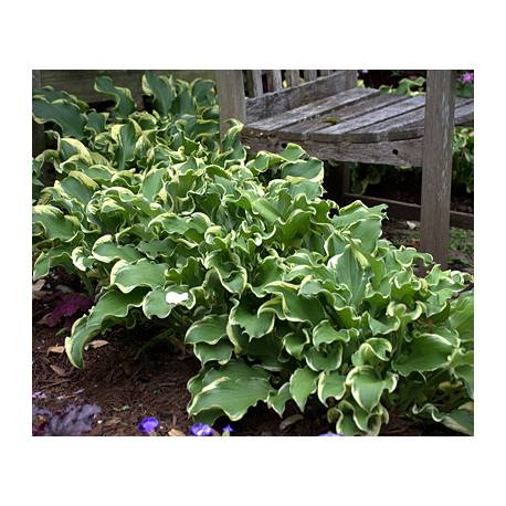 Funkia 'Wheee' Hosta