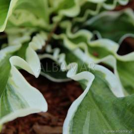 Funkia 'Let's Twist Again' Hosta