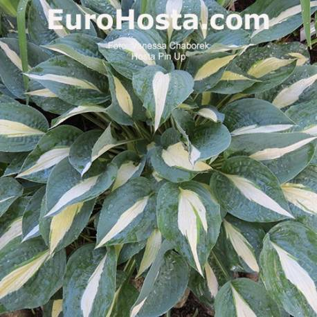 Funkia 'Pin Up' Hosta