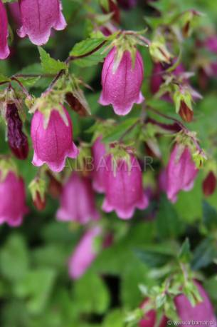 Dzwonek 'Ringsabell Mulberry Rose' Campanula