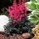 Tawułka pojedynczolistna 'Moulin Rouge' Astilbe simplicifolia