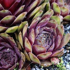 Rojnik 'Achalm' Sempervivum hybridum