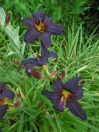 Liliowiec 'Black Emanuelle' Hemerocallis
