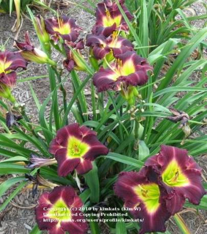 Liliowiec 'Evening Enchantment' Hemerocallis