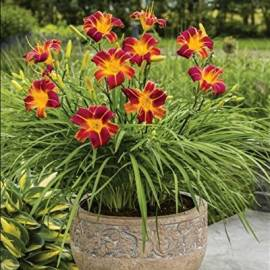 Liliowiec 'EveryDaylily Red Ribs' Hemerocallis
