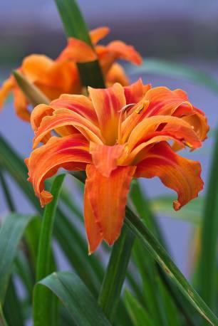 Liliowiec rdzawy 'Kwanso' Hemerocallis fulva