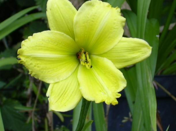 Liliowiec 'Green Flutter' Hemerocallis