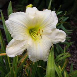 Liliowiec 'Joan Senior' Hemerocallis