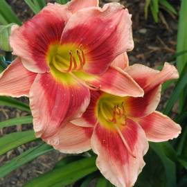 Liliowiec 'Key To My Heart' Hemerocallis