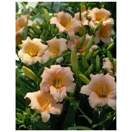 Liliowiec 'Mini Pearl' Hemerocallis