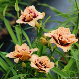 Liliowiec 'Roswitha' Hemerocallis