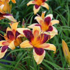 Liliowiec 'Indian Sky' Hemerocallis